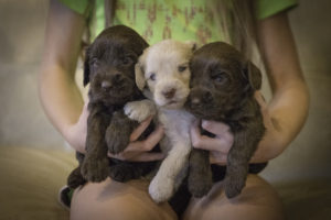 triplets! sweet chocolate and cream puppies!
