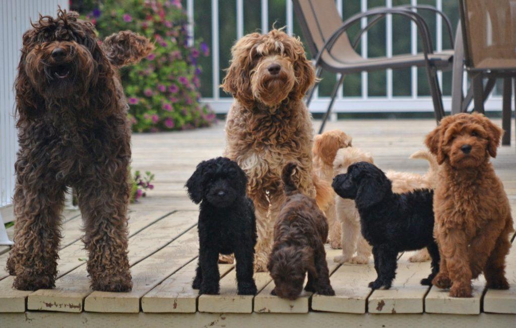 Australian Labradoodle dogs